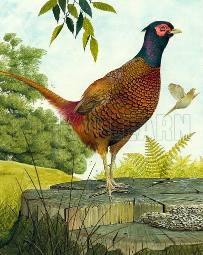 Cock Pheasant.  Original artwork for illustration that appeared on cover of Look and Learn issue no 906 (2 June 1979).
