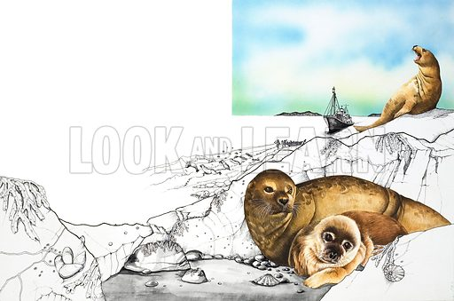 The Season of Slaughter.  During the first few months of their young lives, baby seals are in danger from the hunters who kill them and take their coats for the fur trade.  Original artwork for illustration on pp30-31 of Look and Learn issue no 856 (10 June 1978).