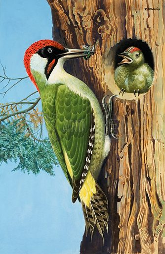 Woodpecker.  Original artwork for illustration on p24 of Treasure  issue no 359 (29 November 1969).