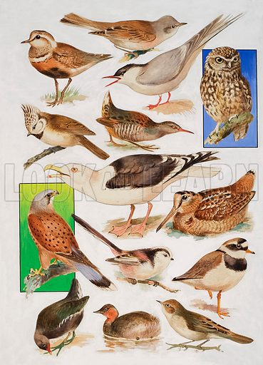 The Birds of Britain.  Original artwork for illustration on p23 of Look adn Learn issue no 904 (19 May 1979).