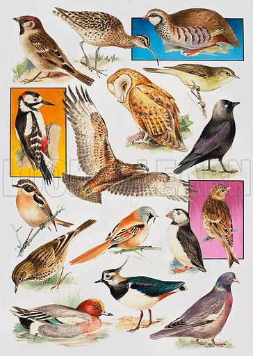 The Birds of Britain.  Original artwork for illustration on p31 of Look and Learn issue no 905 (26 May 1979).
