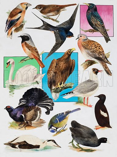 The Birds of Britain.  Original artwork for illustration on p23 of Look and Learn issue no 901 (28 April 1979).
