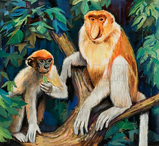 Proboscis Monkey. Original artwork for illustration on p1 of The Look and Learn Book 1974.