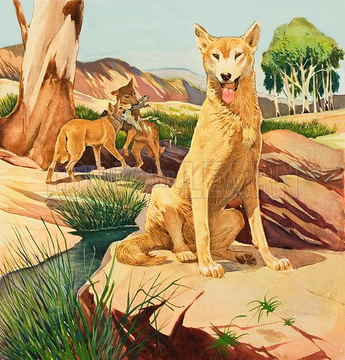 Dingo.  Original artwork for cover of Look and Learn issue no 24 (30 June 1962).