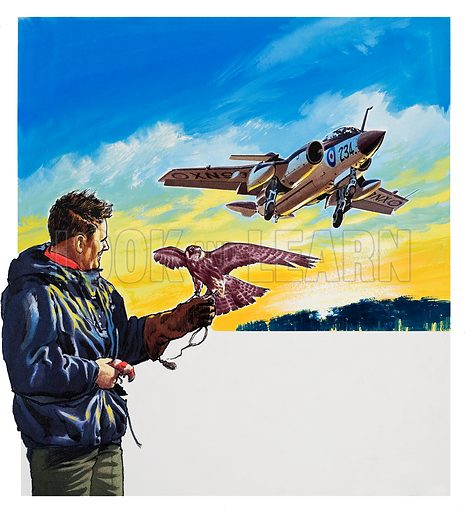 Falcon Flight. Falcons are trained to attack seagulls, in order to keep it safe for the Royal Navy's Buccaneer low level strike aircraft to land and take off. Original artwork for illustration on p33 of Look and Learn issue no 326 (13 April 1968).
