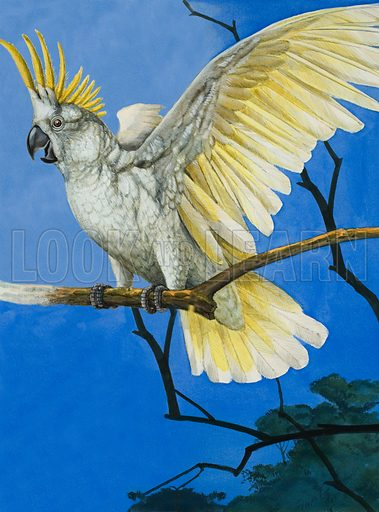 Sulphur-crested cockatoo, picture, image, illustrated
