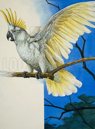 Sulphur-Crested Cockatoo.  Original artwork for illustration on p25 of Treasure issue no 363 (27 December 1969).