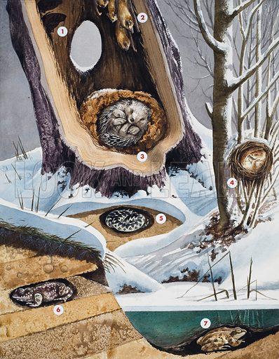 Hibernation.  Illustration showing: 1.  Peacock butterflies; 2.  Noctule bats; 3. Hedgehog; 4.  Dormouse; 5. Adder; 6. Toad;  7. Frog.  Original artwork for illustration on p7 of Look and Learn issue no 152 (12 December 1964).