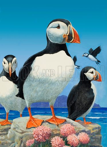 Puffins. Original artwork (substantially re-touched) for illustration in Treasure (10 January 1970).
