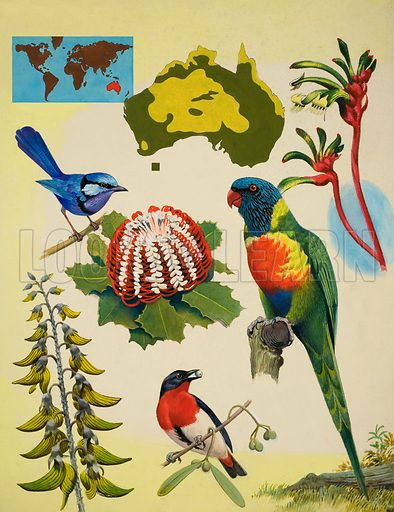 Wildlife of Australia.  Original artwork for illustration on p24 of Treasure issue no 337.