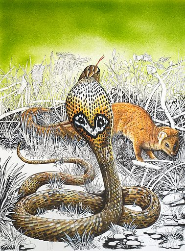 King Cobra, picture, image, illustration