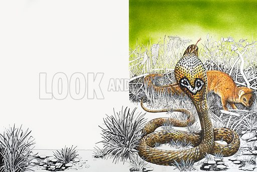 Nature's Kingdom: King Cobra Meets His Match. From Look and Learn no. 851 (6 May 1978). Original artwork.