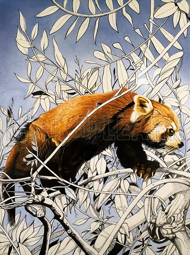 Nature's Kingdom: Cat-bear of the Himalayas. From Look and Learn no. 858 (24 June 1978). Original artwork.