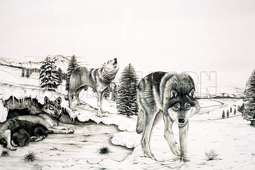 Wolves, picture, image, illustration