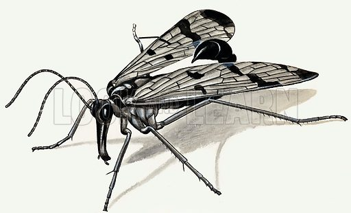Predators of the Past (Scorpion Fly). Original artwork from Look and Learn Book 1986.