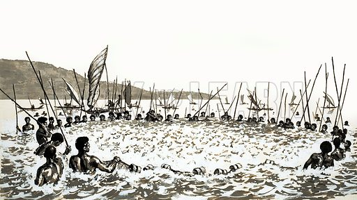 Paradise Islands in the Pacific: The Fate of Fiji. About 100 men adn women take part in the fish drives, shouting, splashing and singing to scare the fish into a huge net. Original artwork from Look and Learn no. 624 (29 December 1973).