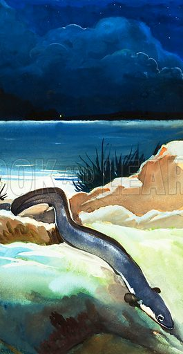 Wonders of Nature: The Eel's Amazing Journey. Original artwork from Look and Learn no. 68 (4 May 1963).