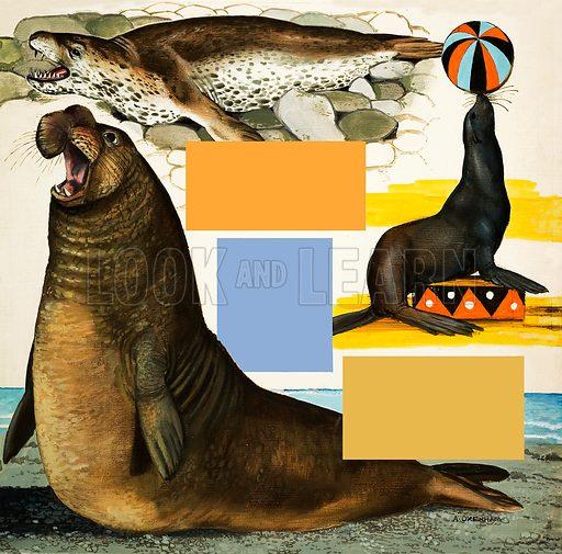 Peeps at Nature: Seals and Sea-Lions. Original artwork from Treasure no. 120 (1 May 1965).
