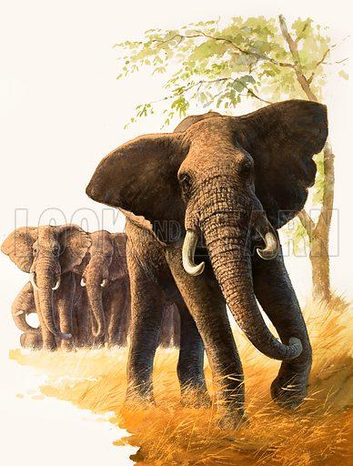 Bull elephant guarding female elephants and young