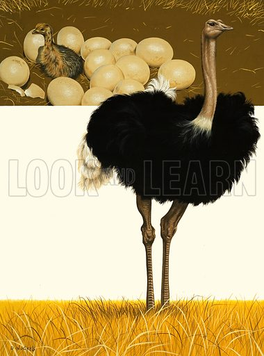 Ostrich. Original artwork.