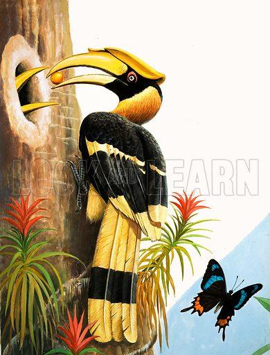 Nature Wonderland: Big-beaked birds. The Hornbill. Original artwork from Treasure no. 389 (27 June 1970).