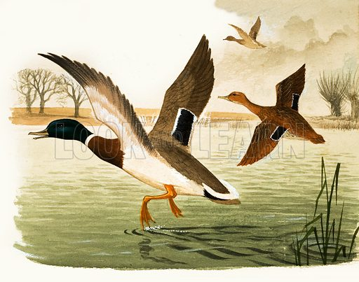 Animal Families: Ducks and Drakes. Original artwork from Look and Learn no. 400 (13 September 1969).