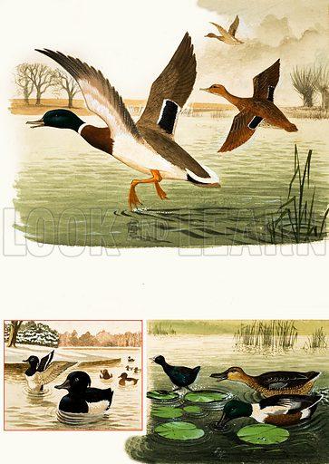 Animal Families: Ducks and Drakes.