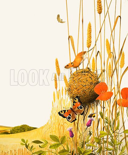 Field mouse and butterfly. Original artwork (reprinted in the Look and Learn Book of 1001 Questions and Answers 9).