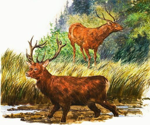 Peeps at Nature: The Red Deer. Original artwork from Treasure no. 154. (25 December 1965).