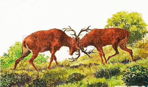 Peeps at Nature: The Red Deer. Original artwork from Treasure no. 154. (25 December 1965).