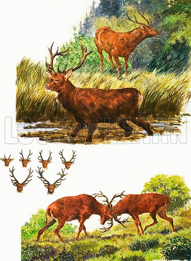 Peeps at Nature: The Red Deer. Original artwork from Treasure no. 154.