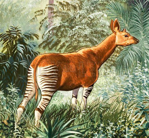 Nature Wonderland: Okapis of the Congo. Original artwork from Treasure no. 378 (11 April 1970).