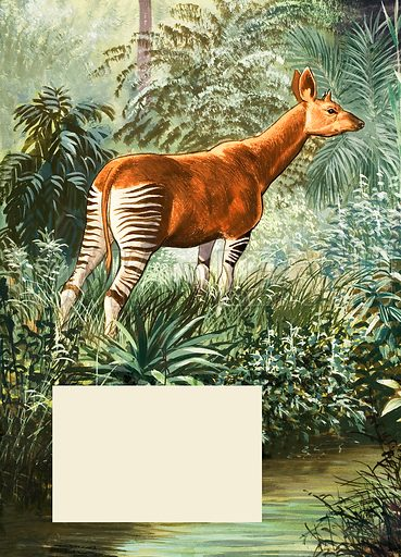 Nature Wonderland: Okapis of the Congo. Original artwork from Treasure no. 378 (11 April 1970).