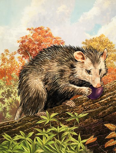 Nature Wonderland: Opossums. Original artwork from Treasure no. 373 (7 March 1970).
