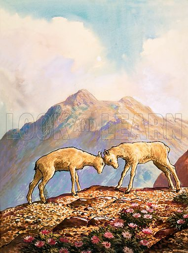 Nature Wonderland: Wild Sheep of the Mountains. Original artwork from Treasure no. 374 (14 March 1970).