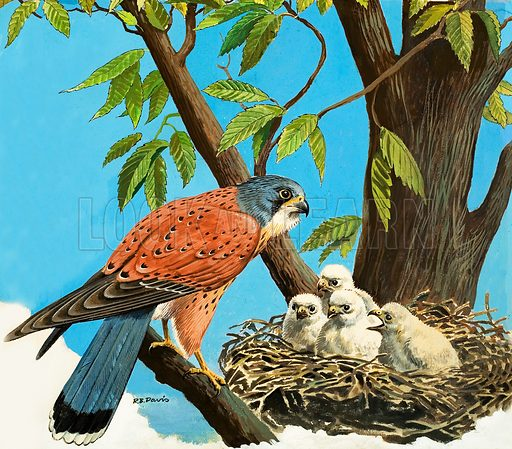 Kestrel, and chicks,  picture, image, illustration