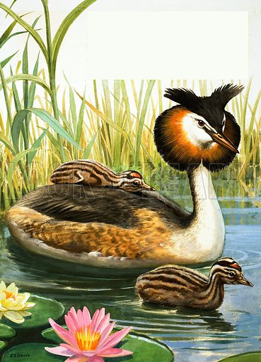 Great Crested Grebe, picture, image, illustration