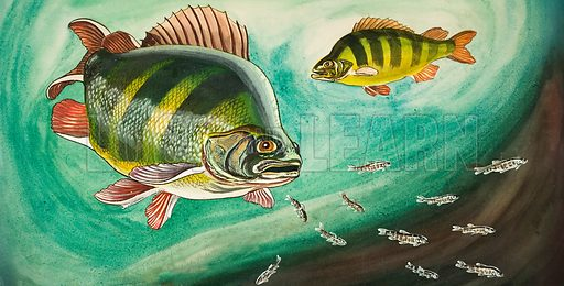Fish.  Original artwork for Look and Learn or Treasure (issue or book yet to be identified).  Lent for scanning by The Gallery of Illustration.