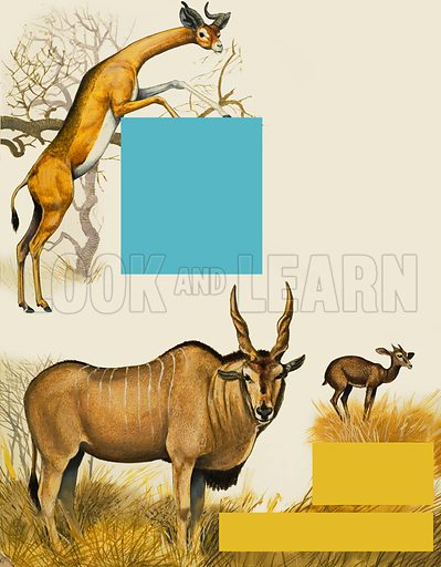 African animals. Original artwork for illustration in Treasure (issue yet to be identified).