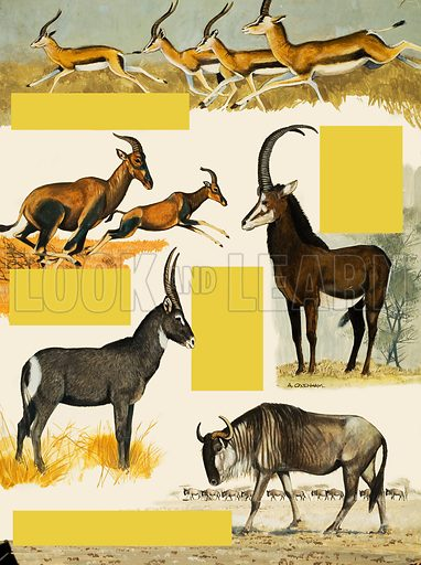 African animals.  Original artwork for illustration in Treasure (issue yet to be identified).  Lent for scanning by The Gallery of Illustration.