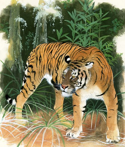 Gone Forever: The Hunters are Hunted. Bali Tiger, now extinct the last having been shot in 1937. Original artwork for illustration on p9 of Look and Learn issue no 1038 (30 January 1982).   Lent for scanning by The Gallery of Illustration.