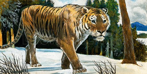 Tiger.  Original artwork for Treasure (issue yet to be identified).  Lent for scanning by The Gallery of Illustration.