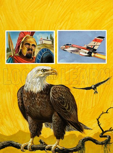 Eagle.  Original artwork for cover of Look and Learn issue no 983 (10 January 1981).   Lent for scanning by The Gallery of Illustration.