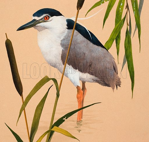 Night Heron. Original artwork for cover of Treasure issue no 387.