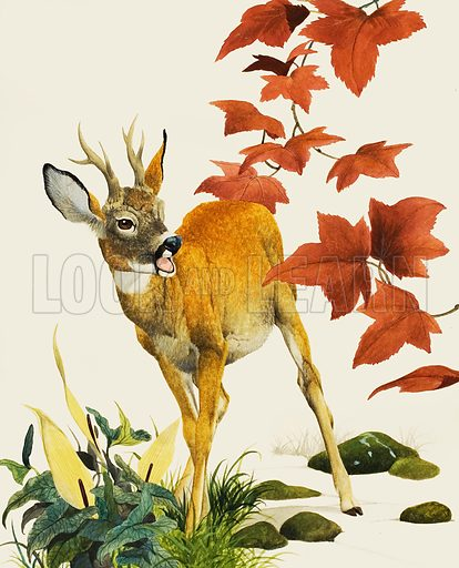 Young Fallow Deer.  Original artwork for cover of Look and Learn issue no 1034 (2 January 1982).  Lent for scanning by The Gallery of Illustration.