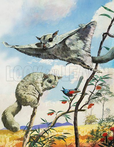 Flying Squirrels.  Original artwork for illustration in Look and Learn (issue yet to be identified).  Lent for scanning by The Gallery of Illustration.