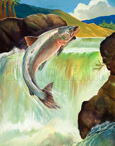 Salmon. The salmon may leap twenty falls like this to reach the breeding ground for egg laying.  Original artwork for illustration on p10 of Look and Learn issue no 52.  Lent for scanning by The Gallery of Illustration.