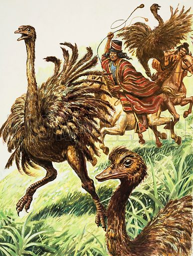 """Rheas. These flightless birds used to be hunted down in Chile and caught with """"bolas"""", two heavy stone balls joined by a thong. A rider held one stone in his hand, then spun the other round, releasing the bolas to fly at the rheas' legs and wrap themselves round them. Original artwork for illustration on p7 of Look and Learn issue no 939 (19 January 1980)."""