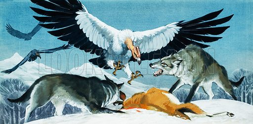 Vulture and Wolves.  Original artwork for Look and Learn (issue yet to be identified).  Lent for scanning by The Gallery of Illustration.