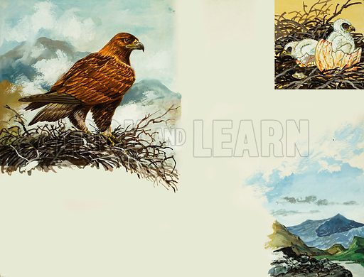 Golden Eagle.  Original artwork for Look and Learn or Treasure (issue or book yet to be identified).  Lent for scanning by The Gallery of Illustration.
